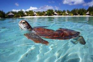 bebe-tartaruga-nella-laguna-interna1