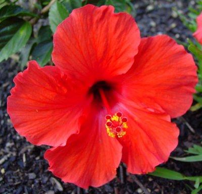 hibiscus_rosa-sinensis