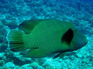 pesce-napoleone-a-huahine