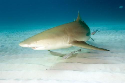 squalo-giallo1