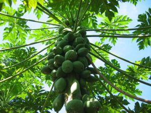 pianta-di-papaya